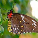 Lady Birdwing by Penny Smith