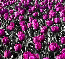 Tulips-2 by Ian-G