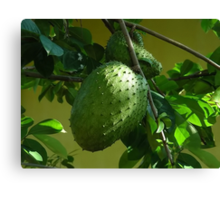 GUYABANO, THE SOURSOP FRUIT - Cancer Remedy- PICTURE/CARD Canvas Print