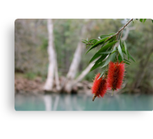 Bottlebrush, Stony Creek, Byfield NP.  Canvas Print