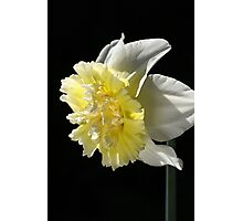Daffodil Delight Photographic Print