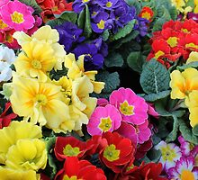 primroses in spring by spetenfia