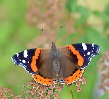 Red Admiral by relayer51