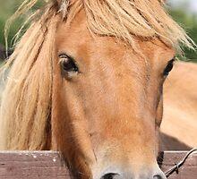 Shetland Pony by Caroline Smalley