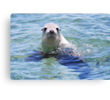 Australian Sea Lion Canvas Print