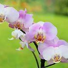 Phalaenopsis by missmoneypenny