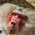 Hamadryas Baboon  by Cindy Hitch