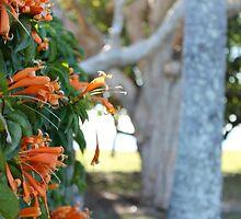 Orange Trumpet Vine - Mackay by Margaret Stanton