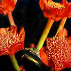 Blood Lilies (5)  Haemanthus coccineus by Bev Pascoe