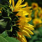 Profile Of A Sunflower by jodi payne