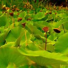 Lotus remains by indiafrank