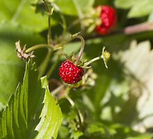 strawberries by spetenfia