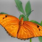 Julia Butterfly by Owed to Nature