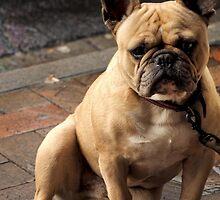 Boston Terrier by Karen E Camilleri