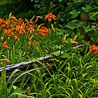 Day Lilies along split rail fence by Yukondick
