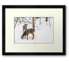 Young Spike Buck and Doe Whitetail Deer In Snowy Woods Framed Print