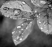Rain Droplets by Lynnrmorris
