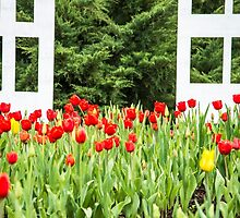 Red field of Tulips by Tammee Berry
