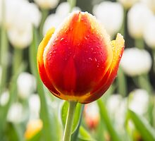 A majestic orange and yellow Tulip in a sea of White by Tammee Berry