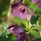Helleborus × hybridus (Lenten Rose) by lezvee