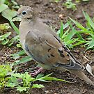 Mourning Dove by William Brennan