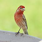House Finch by William Brennan