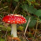Fly Agaric fungi by Jon Lees