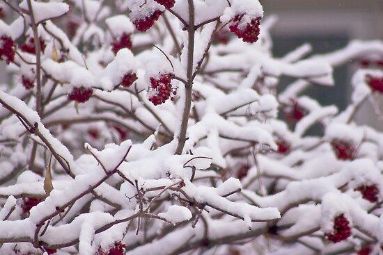 Snow On The Elderberries  by Sandra Foster