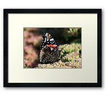 A Red Admiral Butterfly Framed Print