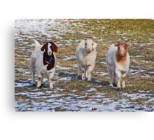 The Three Goats Canvas Print