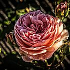 The English Rose by thomr