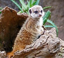 Baby Meerkat On Sentry Duty by Margaret Saheed