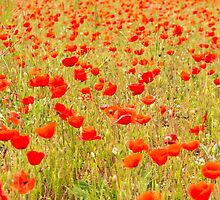 Poppies, poppies, poppies by DavidMay