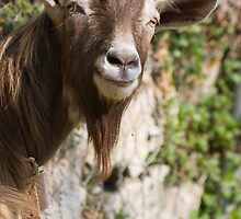 goat in the mountains by spetenfia