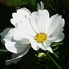 White Cosmos by lynn carter