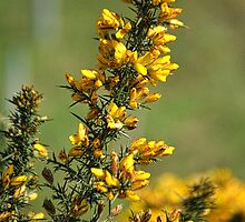 Bright Yellow Gorse by lynn carter