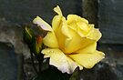 Yellow Rose With Buds by lynn carter