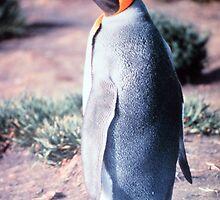 King Penguin on Heard Island by BravuraMedia