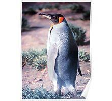 King Penguin on Heard Island Poster