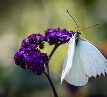 Great Southern White Ascia Monuste by Henrik Lehnerer