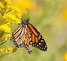The Monarch Butterfly by withacanon