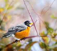 Spring Robin by Christina Rollo