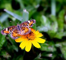 Butterfly Resting on Flower by kfisi