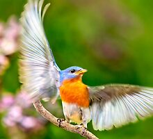 Eastern Bluebird Light as a Feather by Christina Rollo