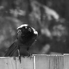 Grackle by Barry W  King