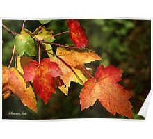 Autumn Maple Leaves ~ Nature's Work Poster