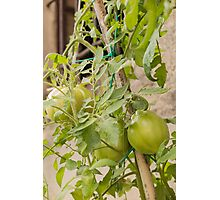 tomatoes in the garden Photographic Print