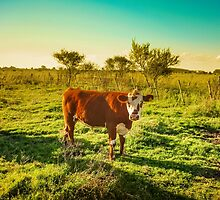 Cow in the field watching the camera by DFLC Prints