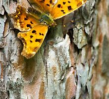 Eastern Comma Butterfly by Christina Rollo