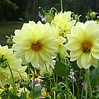 Yellow Dahlias In A Row by Jane Neill-Hancock
